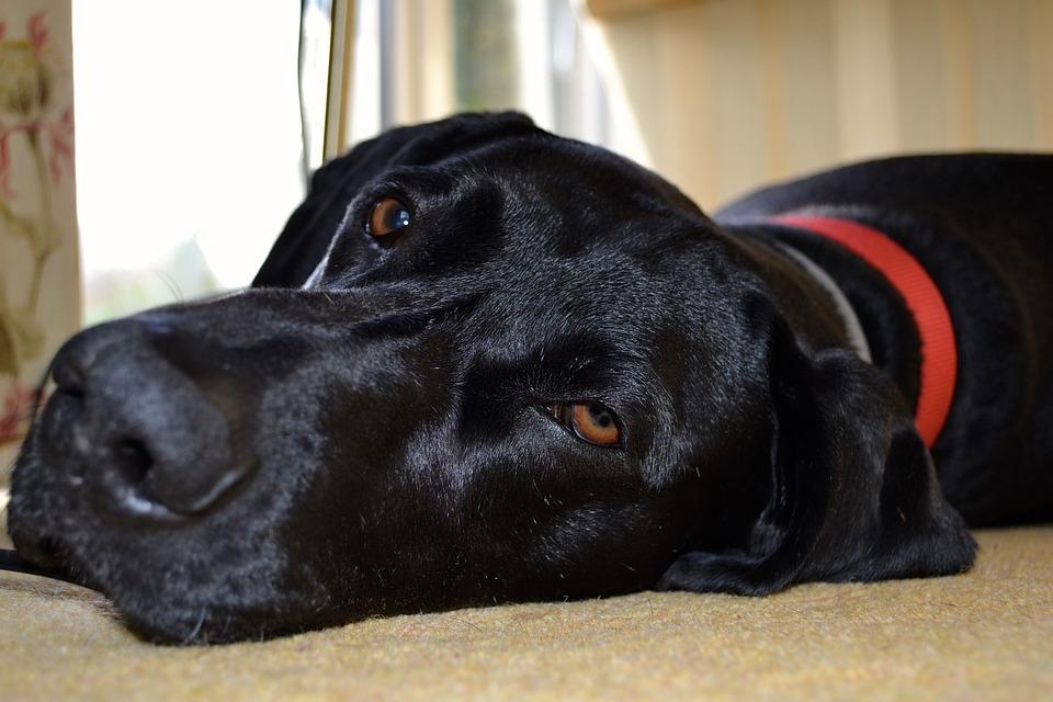 pies z czerwoną obrożą